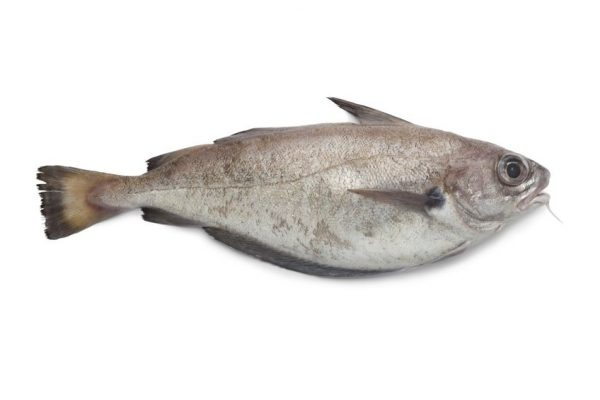 13598108 – single fresh pout whiting on white background